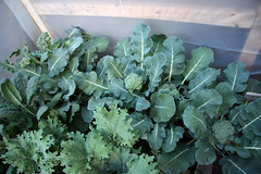coldframe broccoli