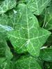 IMG_2677 (pjpink) Tags: summer plant green water leaves virginia leaf drops richmond northside top20nature waterdrops richmondva rva 2010 ginterpark top20greenish