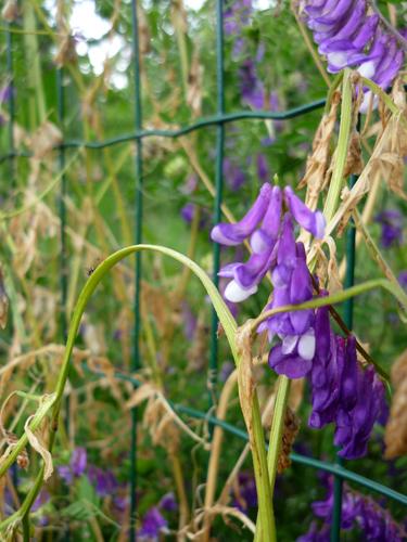 campanelline violette