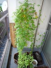 ベランダ菜園全景(2010/10/11)