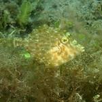 IMG_5469qcrre Planehead Filefish (Stephanolepis hispidus) thumbnail