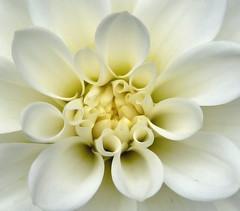 White Dahlia (Alan-Taylor) Tags: dahlia flowers white macro leeds panasonic morley fz38