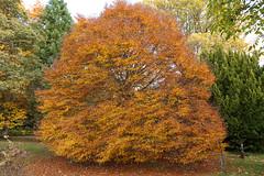 Split Leaf Beech (davidmunro) Tags: autumn trees scotland leaf split beech fagus sylvatica asplenifolia monteviot