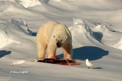 Polar Bear, High Arctic ((Barry) Griffiths) Tags: ocean bear ice high kill wildlife gull ivory arctic pack seal franz josef land polar ringed specanimal