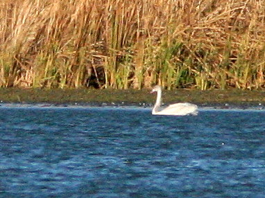 Swan 20101104