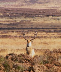 Stag (Derbyshire Harrier) Tags: autumn stag derbyshire doe cropped hind reddeer 2010 moorland barbrook bigmoor
