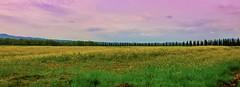In giallo (giannipiras555) Tags: giallo landscape panorama nuvole alberi toscana