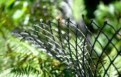 Ferns Along the Fence Line 1 of 2 (Orbmiser) Tags: southparkblocks 55200vr bent curved d90 fence nikon oregon portland summer ferns