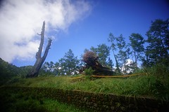 DSC07861 (rc90459) Tags: 最後的夫妻樹 夫妻樹 塔塔加 玉山