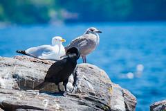Eleanor Island's Gulls and Cormorant (b.m.a.n.) Tags: waterbirds herringgull doublecrestedcormorant muskoka birds ringbilledgull canada colonialwaterbirds canada150 nikond610 eleanorislandnationalwildlifearea