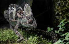 Chameleon - CLK (asterix_93) Tags: portrait nature tree nikon animal face wood head wildlife dragon outdoors lizard chameleon wild rainforest reptile scale d7000 reptilia