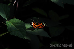 Elegance (Something Wild Photography) Tags: butterfly nature natural leaf leafs leaves macro bug fly flying insect pretty beautiful