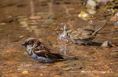 House Sparrow-9833. (martinpettinger) Tags: summertime july hot weather birds bathing cool river sparrows house sky blue water clean nature wildlife sparking clear canon sigma