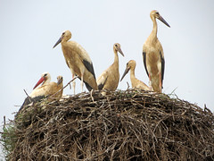 IMG_5366 A very crowded nest! (pinktigger) Tags: stork cigüeña storch cicogne ooievaar ciconiaciconia cicogna cegonha bird nature fagagna feagne friuli italy italia oasideiquadris animal outdoor nest youngstorks