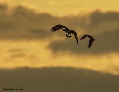 ospreysunset1 (lfalterbauer) Tags: osprey sunset stoneharbor newjersey 7dmarkii canon nature wildlife avian ornithology raptor outdoor bird