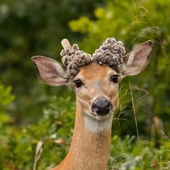 Dudette (Lindell Dillon) Tags: dudette whitetail deer whitetailoddity nature wildlife oklahoma lindelldillon