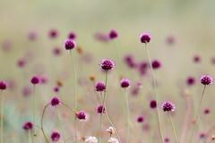ail à tête ronde ( Allium sphaerocephalon ) Erdeven 170701b2 (papé alain) Tags: fleurs fleursdesdunes ailàtêteronde alliumsphaerocephalon erdeven morbihan bretagne france