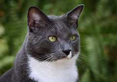 Gray and white cat in the ferns. (Jill Bazeley) Tags: gray grey white cat portrait sword fern nikon d7200 300mm f4 pf