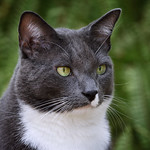 Gray and white cat in the ferns. thumbnail