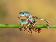 Stampede- Super tiger leg tree frogs (susie2778) Tags: olympus omdem5mii 60mmmacrof28 captive captivelight studio flash supertigertreefrog