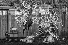 Toys and Antlers (Mister Day) Tags: antlers deer art dangerous bnw noir pointy weird sharp juxstaposition toys backyards