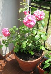 La magnifica Rosa Saint Exupry (DeskMir) Tags: rosa petali rosesaintexupry