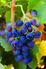 Red Grapes near Harvest (pixelish) Tags: blue red food leaves vineyard wine drink vine winery grapes bunch organic biodynamic grenache mourvdre