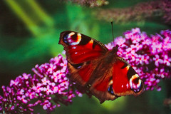 Large Butterfly in the garden (Thomas Tolkien) Tags: school copyright mist green art sports tom butterfly garden photography education dof bokeh thoma