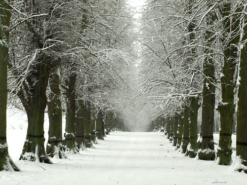 Lime Tree Avenue in the Snow