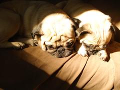 Sun and pugs >>>2