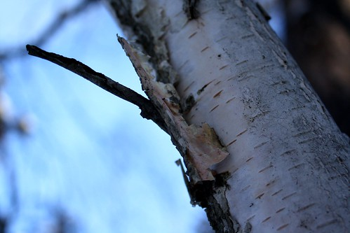 wintry birch