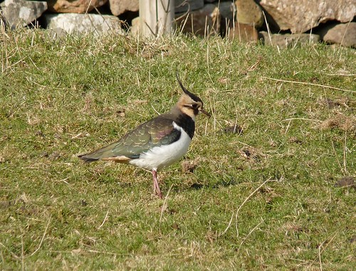 11897 - Lapwing at Mewslade, Gower