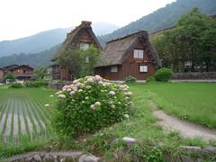 DSCN2501 (Tamago Moffle) Tags: world plants heritage japan site village  hydrangea   shirakawago shirakawa           gifupref shirakawamura  onodistrict