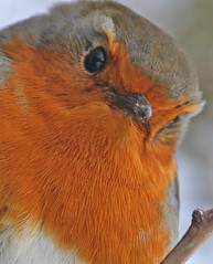 The Robin in winter #11 (Feggy Art) Tags: lighting city flowers trees winter light red brown sun sunlight cold art texture ice water robin field leaves contrast canon garden botanical eos rebel town frozen eyes day breast adult erithacus suburban low lakes beak feathers olive species british icy botany isles xsi redbreast welwyn rubecula subspecies stanborough feggy melophilus victius feggyart
