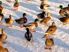Ducks on a frozen canal (Loafhead) Tags: snow water frozen duck wildlife naturesfinest animaladdiction canl
