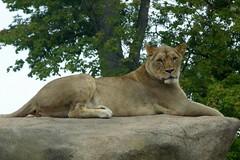 Peoria Zoo (Tiger_Jack) Tags: animals zoo bigcat lions exoticcats bigcats peoria zoos exoticcat glenoaks glenoak itsazoooutthere zoosofnorthamerica peoriazoo flickrbigcats glenoakszoo