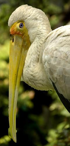 Yellow Beaked Bird