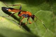 Orange wasp (kasia-aus) Tags: nature insect wasp australia canberra act 2010