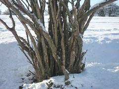 Lonesome Tree Roots (Andrew Kelsall, Graphic Designer) Tags: snow treebark snowfield blueskies whitesnow picturesque baretree treeroots mellow englishcountryside snowytree backgroundimage standalone lonesometree browntree scenictree widetree snowytwigs