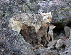 Super Tanker (BKP2010) Tags: coyote nature spring pups den yellowstonenationalpark wyoming gibbonriver naturephotgraphy coyotepups