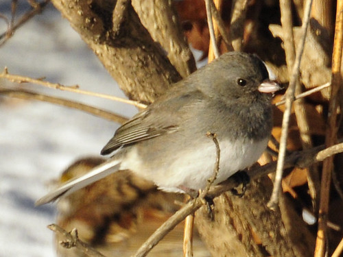 dark eyed junco close