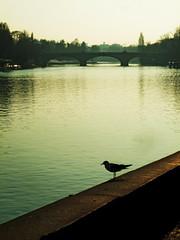 Libert fluente - Flowing freedom. (sinetempore) Tags: bridge sunset sun water river torino tramonto gull fiume ponte sole acqua turin gabbiano
