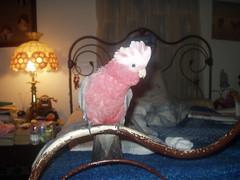 p1100011 (billulater) Tags: parrot cockatoo galah rosebreasted rosebreastedcockatoo