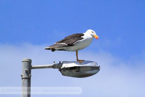 Black-Browed Albatross On A Lamp Post