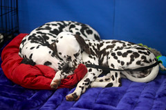 Golden Gate Kennel Club Dog Show: Dalmatians