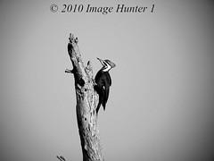Pileated Woodpecker (Image Hunter 1) Tags: bw white black nature birds blackwhite woodpecker louisiana bayou swamp marsh pileated pileatedwoodpecker birdslouisiana bayoucourtableau panasonicfz35 raynox2025hd22x
