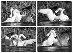 Swan Wars (Andrew H Wildlife Images) Tags: bird nature beauty fight war wildlife swans beast warwickshire avian brandonmarsh canon7d ajh2008