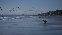 Chasing gulls (SF knitter) Tags: newzealand dog bird beach seagull joy excitement chasing englishspringerspaniel ohope