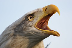Scream out loud (Ronald Swinkels) Tags: nature birds eagle baldeagle vogels natuur haliaeetusleucocephalus amerikaansezeearend