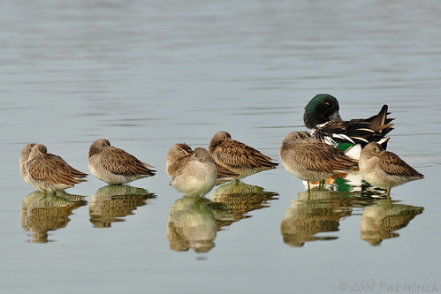 Shoveler and dowitchers